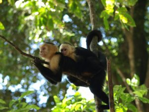 white-faced-capuchin-monkeys
