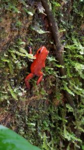Red-Poison-Dart-Frog