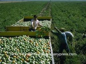 Green-tomatoes-loaded-on-the-farm