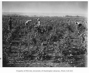 Tomato_Farm_Showing_Vines_and_Pickers