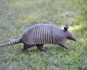 armadillo in the chow hall